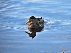 Duck on Lake Moana-nui