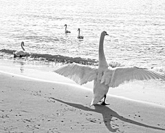 Swans at the beach