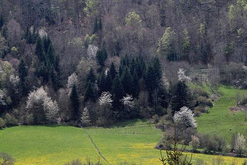 paysage aux merisiers