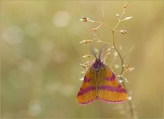 Purple-barred Yellow ~ Zuringspanner (Lythria cruentaria)...