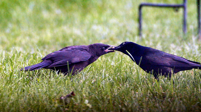 Common grackle feeding juvenile.
