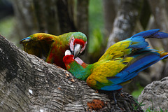 Guatemala, Quarrel of Parrots in the Chocón Machacas Protected Biotope