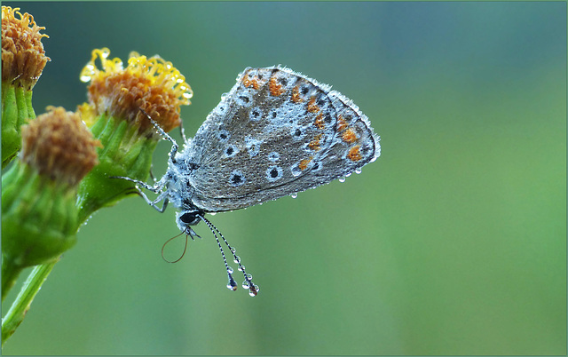 Common blue ~ Icarusblauwtje (Polyommatus icarus) in the Early Morning...