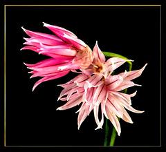 Schnittlauch (Allium schoenoprasum). ©UdoSm
