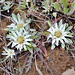 Evax carpetana, Asteraceae