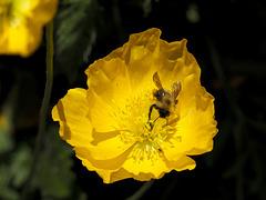 Tumbling Bee