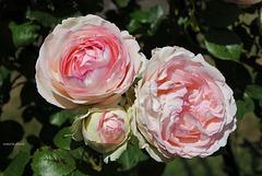Rosier Pierre de Ronsard - Les trois âges d'une rose