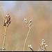Bruant des roseaux DSC0973