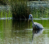 Heron hunting from the reed bed blind