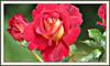 Quelques Roses pour vous souhaitez une belle soirée et un bon Mercredi!
