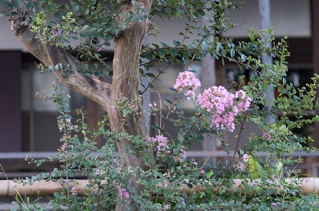 Crepe-Myrtle on a temple ground