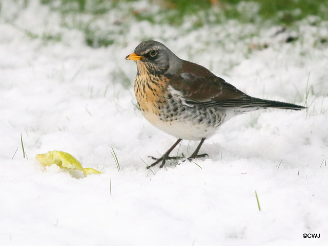 Snow overnight brought a comparatively rare visitor to nibble on the remains of a Bramley apple - a Fieldfare