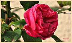 Une rose d'automne est plus qu'une autre exquise.
