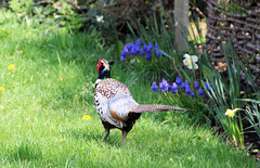 Pheasant ..... ( if i ignore him he may go away with that camera )
