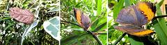 Indischer Blattfalter  (Kallima paralekta) ©UdoSm