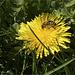 Bee harvests dandelion