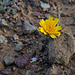 Malacothrix glabrata, Asteraceae, Desert dandelion