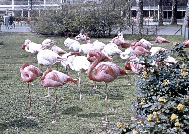 Flamingos im Frankfurter Zoo (Diascan)