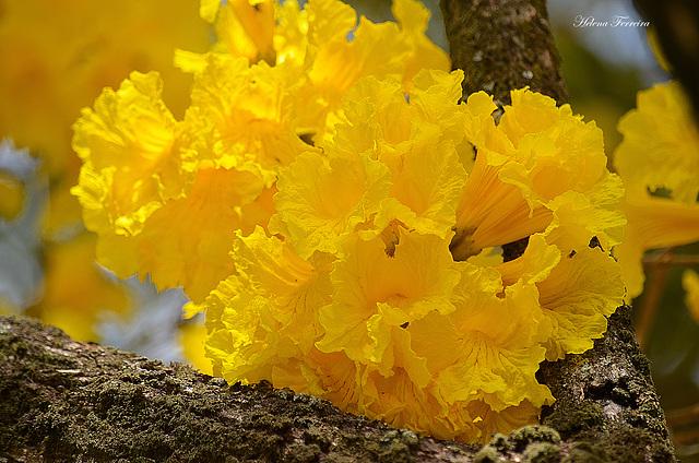 ~ Ipê flowers  ~