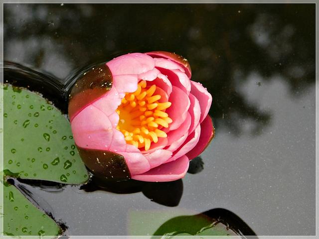 Naissance d'une fleur de nénuphar au jardin