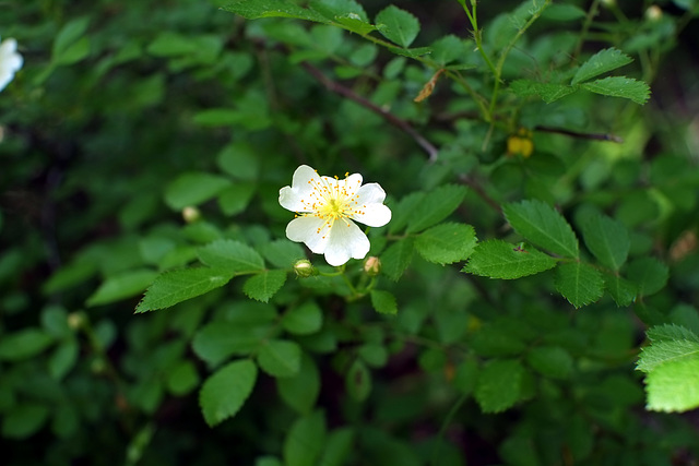 The dreaded multiflora rose