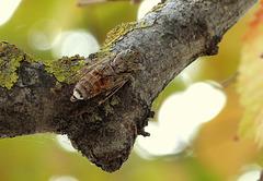 Cicada, Corfu