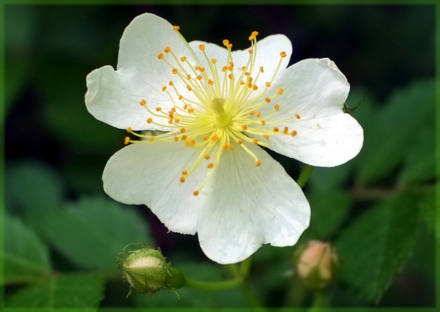 The multiflora flower is pretty, though
