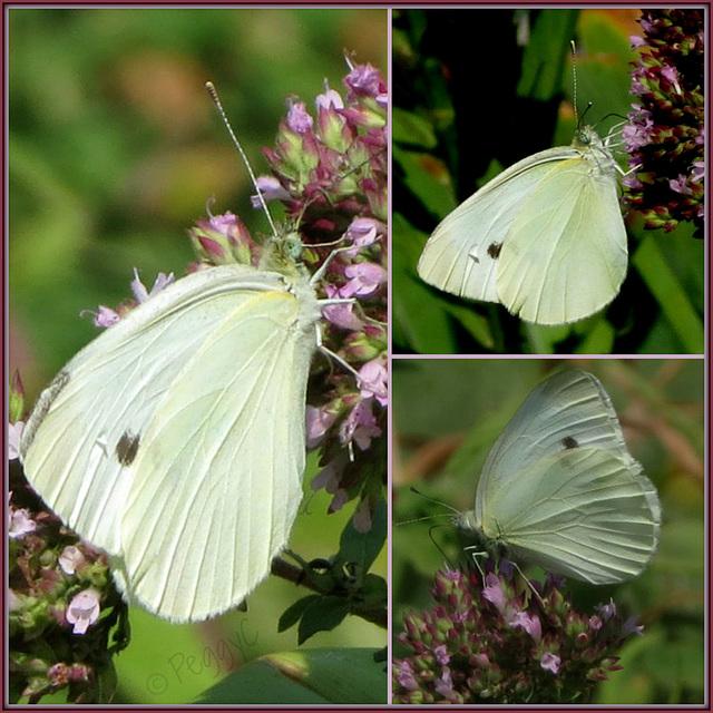 Cabbage White 2015 ..