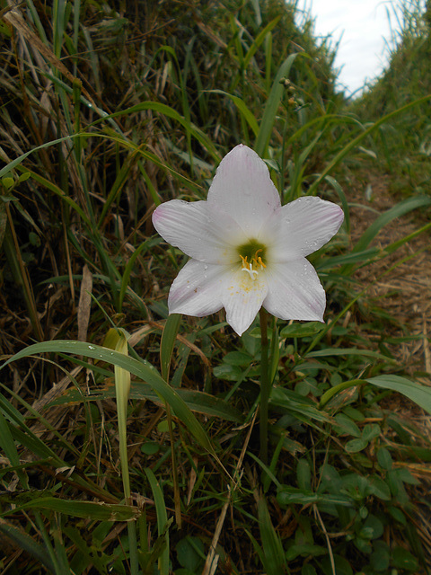 DSCN5318 - lírio-dos-ventos Habranthus (ex-Zephyranthes) robustus, Amaryllidaceae