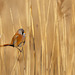 Panure à moustaches Panurus biarmicus - Bearded Reedling 2019