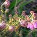 Calluna vulgaris (dopheide)