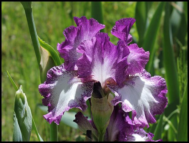 Iris Mariposa Autumn (2)