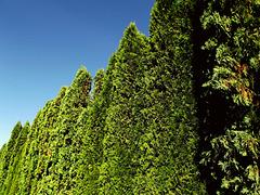 Arborvitae (Thuga plicata)