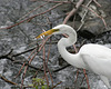 15/50 grande aigrette-great egret