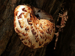 Fungus (Dryad's Saddle?), Pt Pelee, Ontario