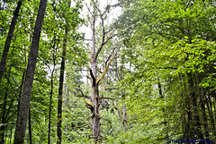 Oak August II Sas, 350 years old in the Bialowieza Forest, Poland