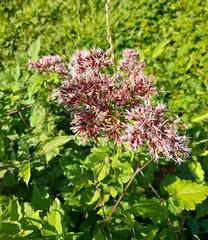 Fleurs sauvages*************Eupatorium canabinum, la chanvrine eupatoire