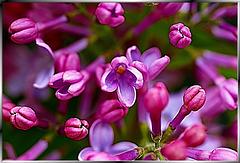 Fliederblüte von nah besehen... Lilac blossoms of near seen... ©UdoSm