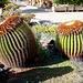 Gran Canaria, Maspalomas. Schwiegermutter-Sessel. (Echinocactus grusonii). ©UdoSm