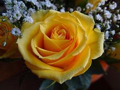 One of my Yellow Birthday Roses