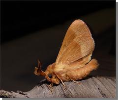 Lasiocampa trifolii mâle