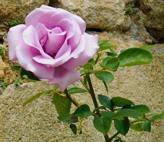 Ma rose !