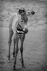 Zebrafohlen (Wilhelma)