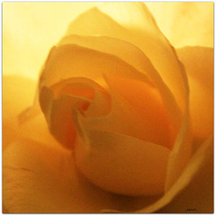 ...die letzte Rose...