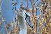Swans on Killingworth Lake. North Tyneside