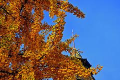 Ginkgo, l'arbre aux quarantes écus