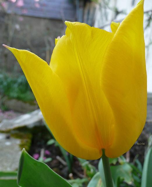 Tulipe********************
