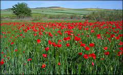 Spring revisited no 5. Poppy field, Algete