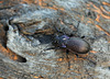 Violet Ground Beetle (2)