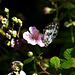 una farfalla sul rovo
